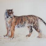 IMG_1648 Tigre - David LEUNG